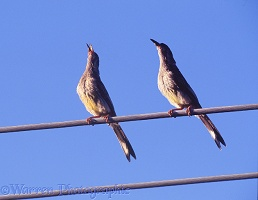 Red Wattelbirds on wire