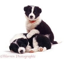 Black-and-white Border Collie pups
