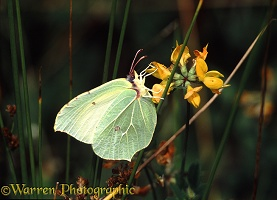 Brimstone female on Birdsfoot Trefoil