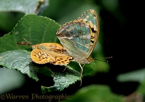 Silver-washed Fritillary mating pair