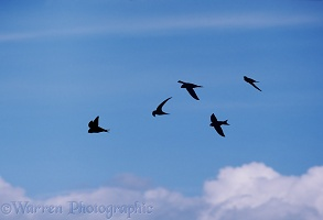 Swift flock