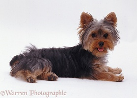 Yorkie pup lying head up