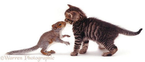 Baby Grey Squirrel and tabby kitten