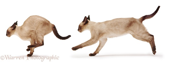 Siamese cat running