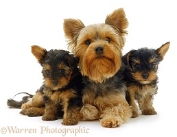 Yorkie and pups