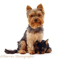 Yorkie and pup