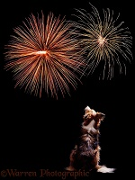 Dog watching fireworks