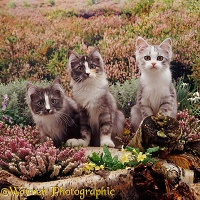 Kittens among heather