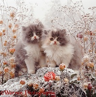 Kittens among snowy flowers