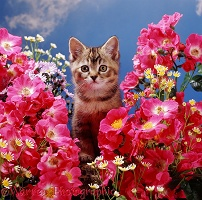 Kitten among pink rose flowers