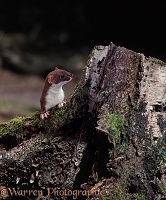 Stoat pawsover birch stump