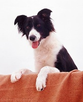 Border Collie with paws up