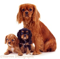 Cavalier King Charles Spaniel mother and pups