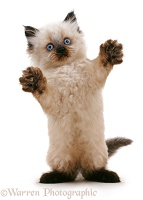 Playful Birman-cross kitten reaching out
