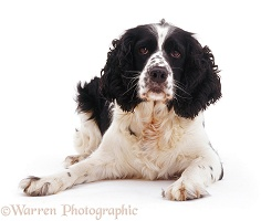 English Springer Spaniel lying with head up