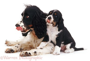 English Springer Spaniel mother and pup