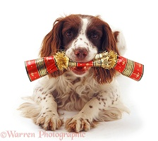 Springer Spaniel with Christmas cracker