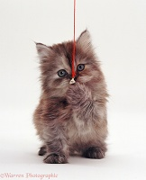 Fluffy kitten clutching a bell on a string