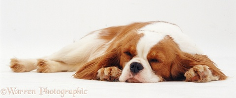 Cavalier with chin on floor