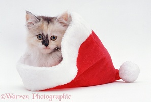 Kitten in a Father Christmas hat