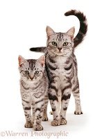 Silver tabby mother cat and kitten