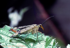 Scorpion Fly female perched