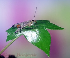 Scorpion Fly male perched