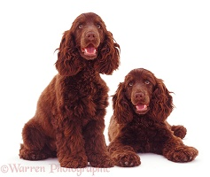 Chocolate Cocker Spaniels