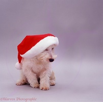 Westie in a Christmas hat