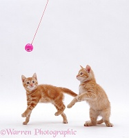 Playful ginger kittens