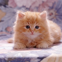 Fluffy ginger female kitten