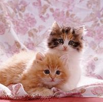 Cute kittens with fringed cover