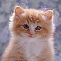 Ginger kitten portrait