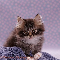 Portrait of fluffy tabby kitten