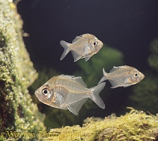 Siamese Glass Fish