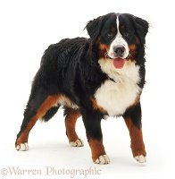 Bernese Mountain Dog bitch, 10 months old
