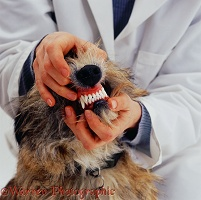 Vet examining a dog's teeth