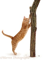 Ginger cat scratching a post