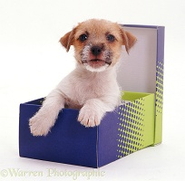 Jack Russell pup in a shoe box