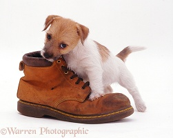 Jack Russell pup inspecting a shoe