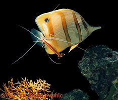 Cleaner shrimp cleaning butterfly fish