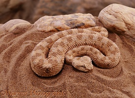 Horned Viper coiled