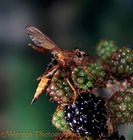 Giant Robber Fly cleaning wings