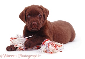 Chocolate Labrador pup with ragger toy