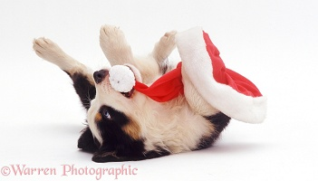 Border Collie pup playing with Santa hat