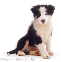 Cute Border Collie pup