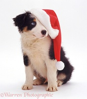 Border Collie pup with Santa hat