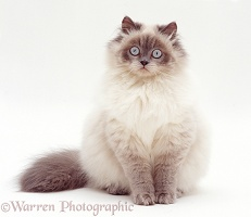 Blue colour-point Birman-cross cat