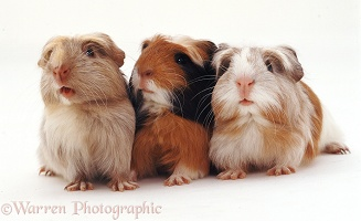 Trio of Guinea pigs