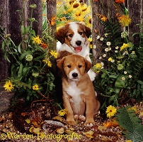 Border Collie pups with flowers and fence